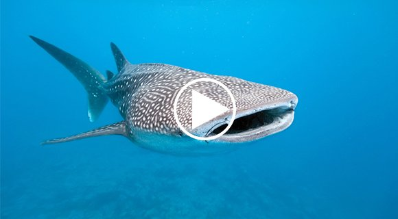 Whale shark South Ari Maldives
