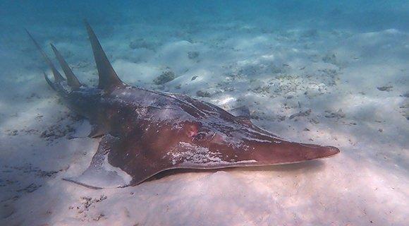 Guitar Shark Maldives