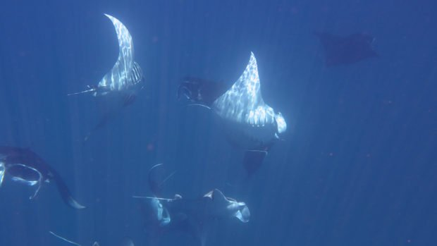 Manta rays Hurawalhi Maldives