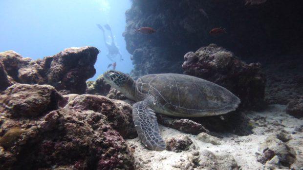 Sea Turtles Kuredu Maldives