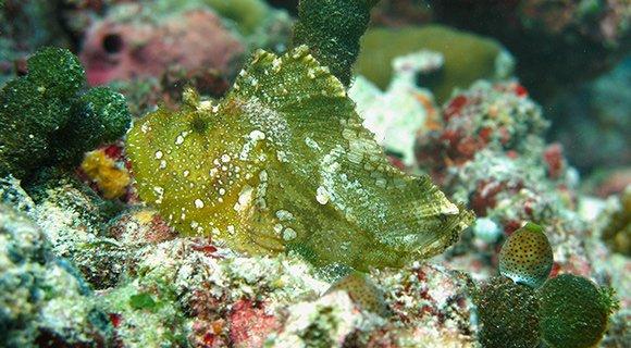 Leaf Scorpionfish Maldives