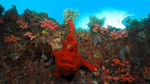 Maldives Frogfish Scuba Diving