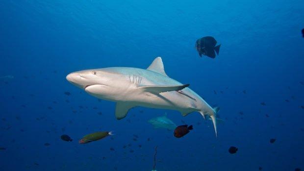 Grey Reef Shark Maldives