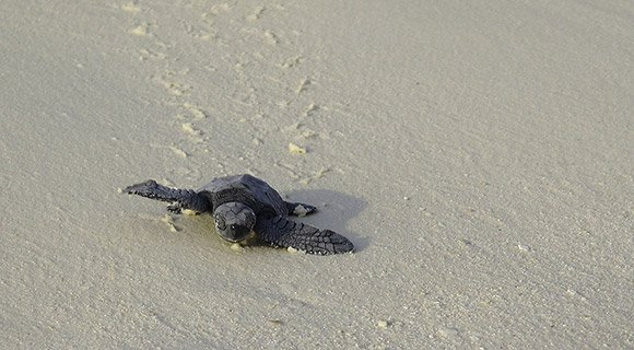 Green Sea Turtle hatchling Maldives