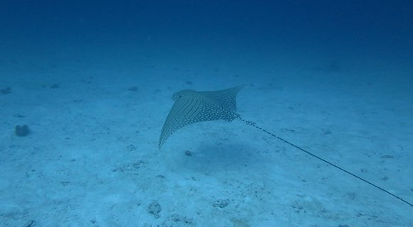 Ornate Eagle Ray Maldives diving