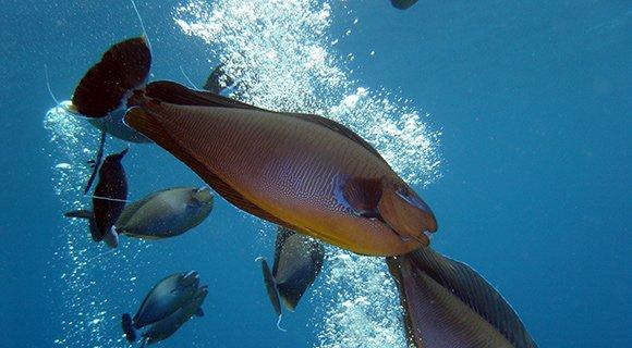 Big-nose unicorn fish Maldives