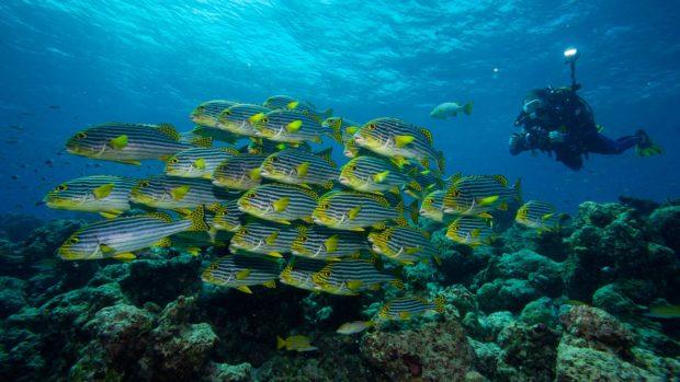 Scuba Diving Maldives Sweetlips