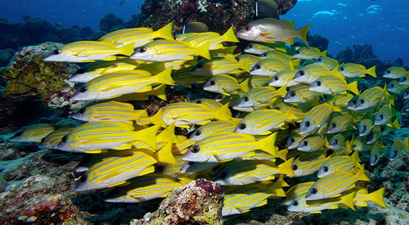 diving snappers Maldives
