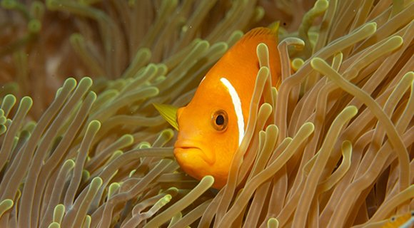 Anemone Clownfish Maldives