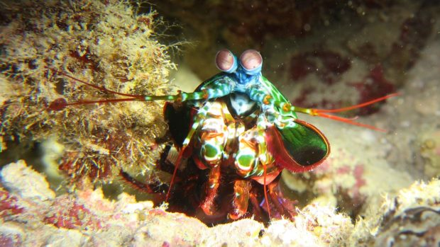 Mantis Shrimp Lily Beach Maldives