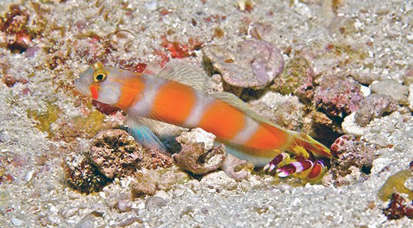 Goby partner shrimp symbiosis maldives