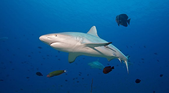 Maldives Shark diving