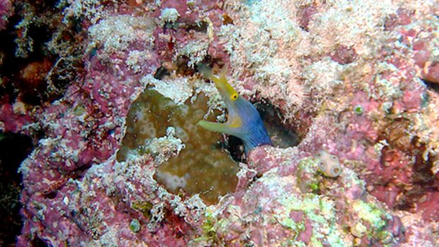 Ribbon Eel Maldives