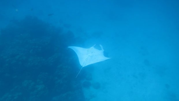 Maldives Manta Diving