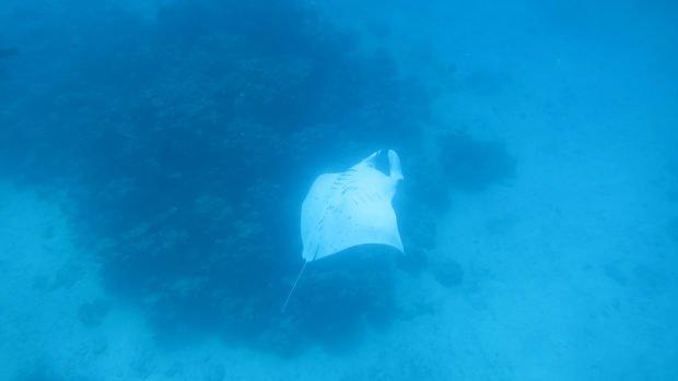 Maldives Manta Diving