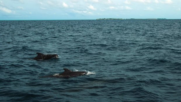 Pilot whales Maldives diving