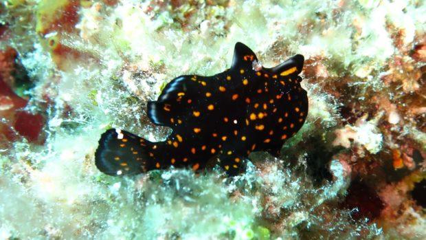Macro diving Maldives frogfish