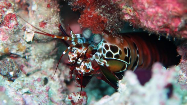 Macro diving Maldives mantis shrimp