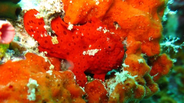 Macro diving Maldives frogfish