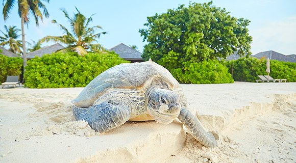 Green Sea Turtle nesting Maldives