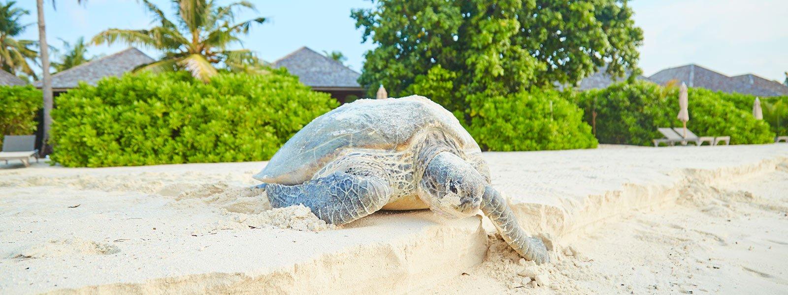 Green Sea Turtle nesting Maldives
