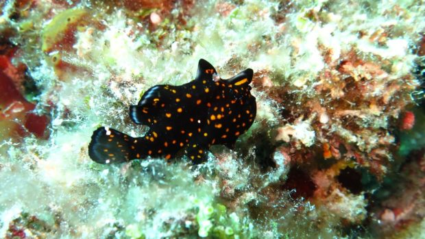 Maldives Scuba Diving Frogfish