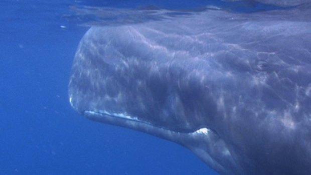 Sperm whale Maldives