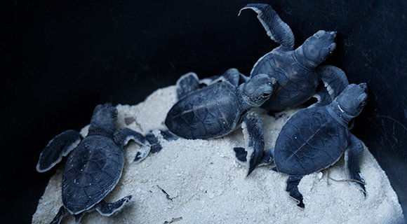 Turtle hatchlings Maldives