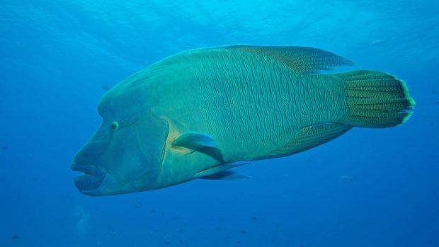 Napoleon Wrasse Maldives Diving