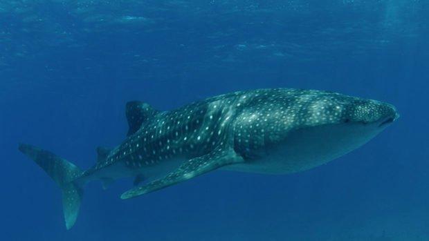 Whaleshark Maldives Diving