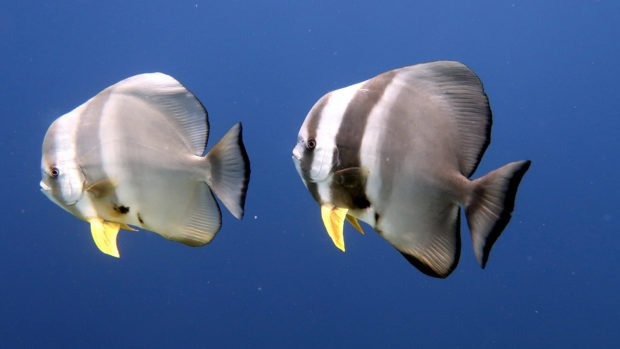 Batfish Scuba Diving Maldives