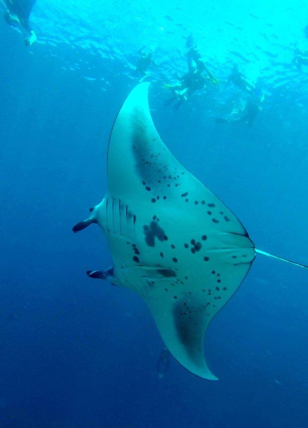 Snorkel Maldives Manta