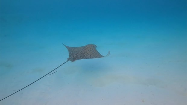 Ornate Eagle Ray Maldives