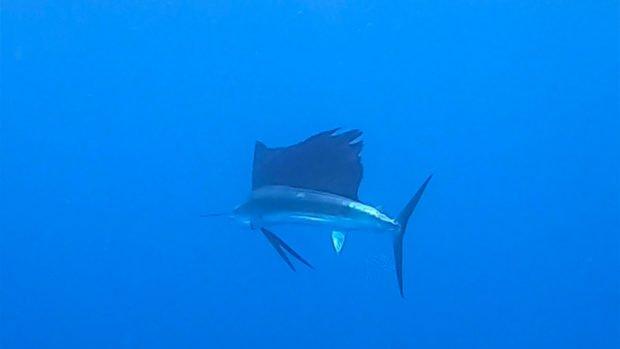Scuba Diving Maldives Sailfish