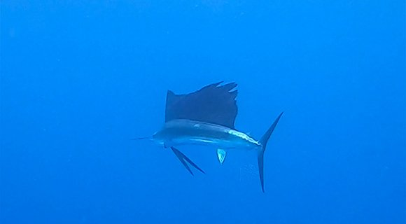 Scuba Diving Maldives Sailfish
