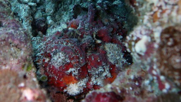 Scuba Diving Maldives stonefish