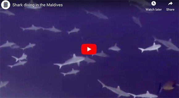 shark diving Maldives
