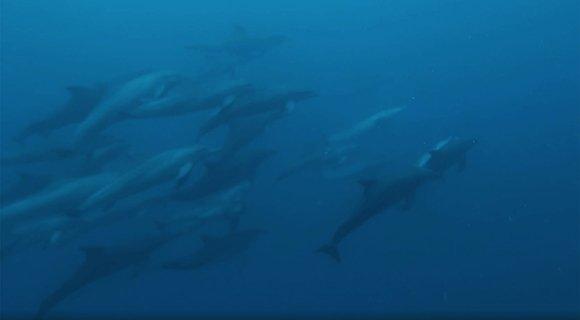 Maldives Scuba Diving Dolphins