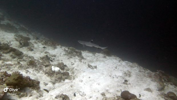 Shark Week celebrations Hurawalhi Maldives