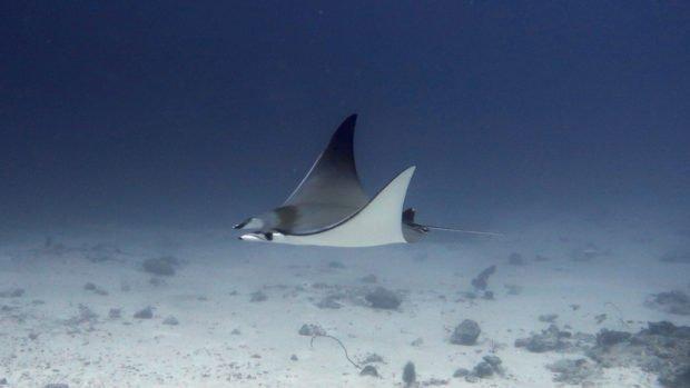 Mobula Ray Innahura Maldives