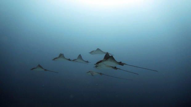 Eagle rays Innahura Maldives