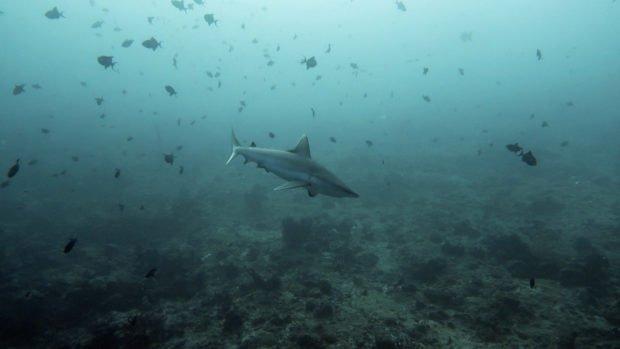 Shark Week Komandoo Maldives