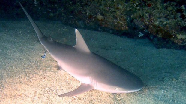 Lily Beach Maldives shark week