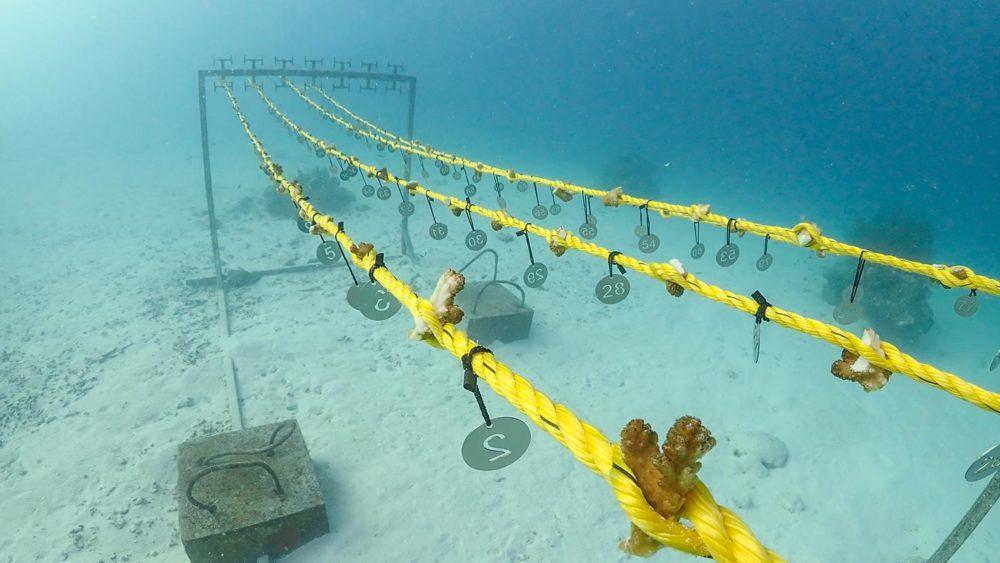 Coral Reef restoration Maldives