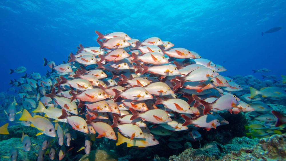 Maldives Marine Life Snappers