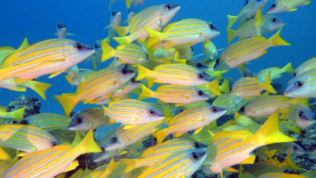 Snappers Maldives