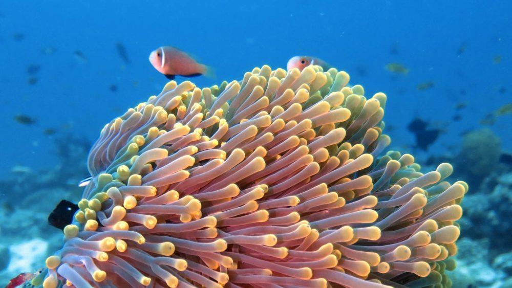 Clownfish Anemone Maldives