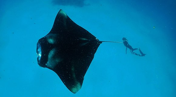 Maldives manta ray research