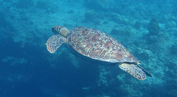 Maldives Sea Turtle ORP