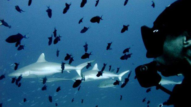 Maldives sharks